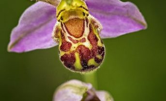Ferrensby Bee Orchid (Photo by Tony Brown)