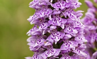 Ferrensby Common Orchid (photo by Tony Brown)